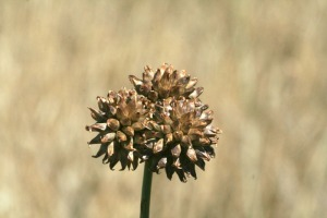 wild-garlic_seed-head