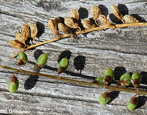Yellow Sweet Clover Seed pods